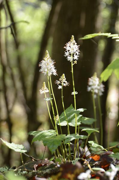 Saxifragaceae -  Tiarella cordifolia - Foamflower