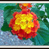 Native Texas Lantana