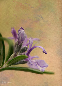 Rosemary and Texture
