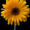 Gerbera Daisy After The Rain
