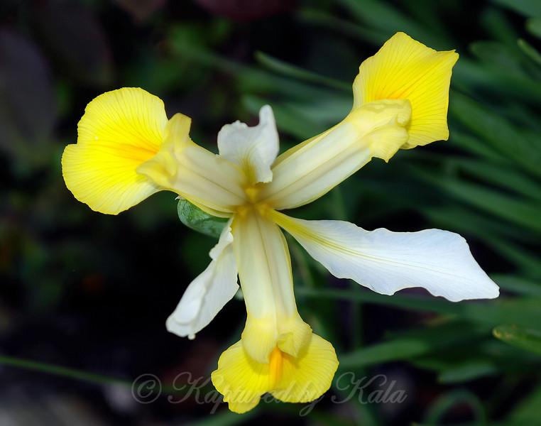 Yellow Dutch Iris From Above