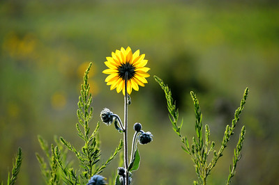 Sunflower greets the morning sun