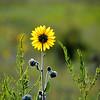 Sunflower great the morning sun