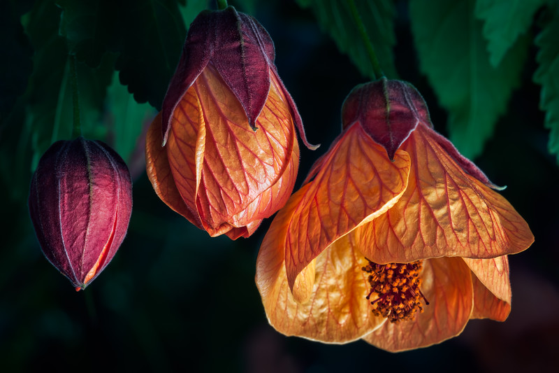 Blooming into a Flowering Maple