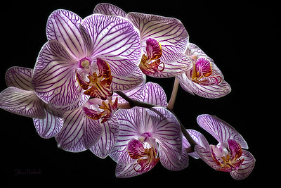 Orchid Radiance