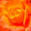 lush orange bloom ...