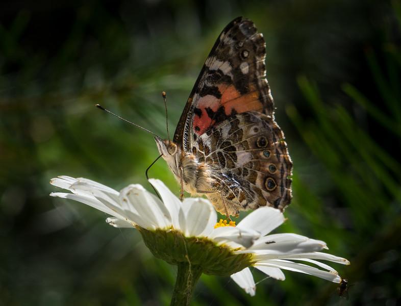 Butterfly on Daisy 1463