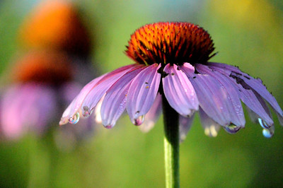 Morning dew drops on purple coneflower (Echinacea purpurea)