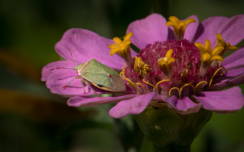 Green Bug on Zinnia 4173