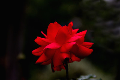 DaDas Rose