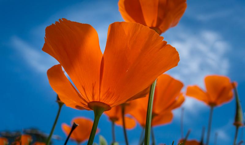 Poppies & Blue Sky-1