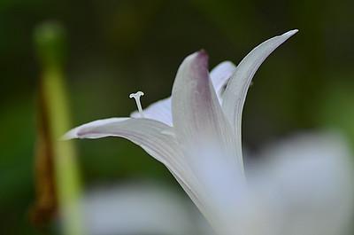 Amaryllidaceae -  Zephyranthes atamasco - Atamasco Lily, Rain Lily