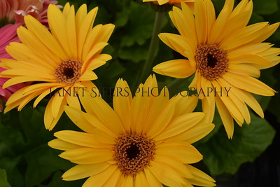 Yellow gerber daisy trio