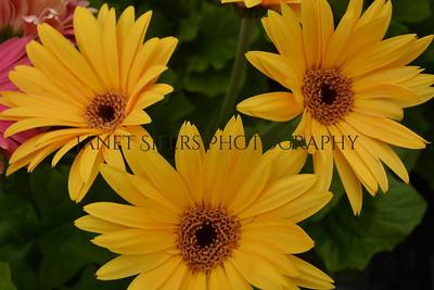 Yellow gerber daisy trio