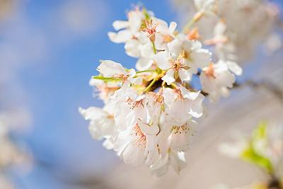 Cherry Blossom 1