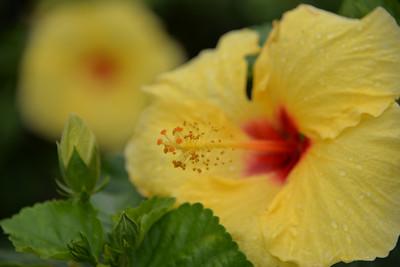 Flowers of Waimea