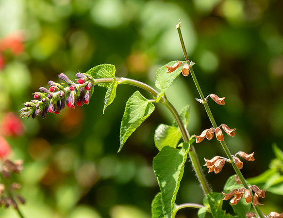 red salvia buds