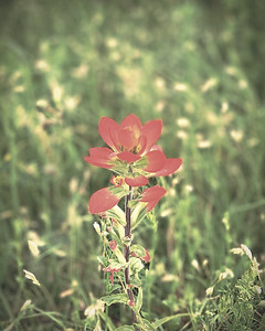 Backyard Indian Paintbrush (low sat high detail edit)
