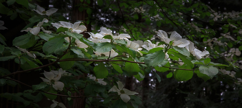 Dogwood Blooms - Yosemite Village