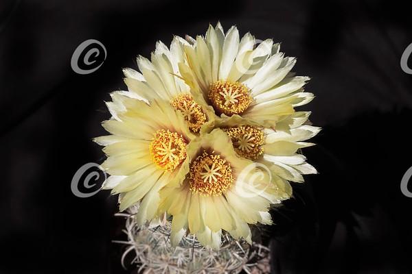 Five Yellow Sea Urchin Coryphantha radians Cactus Flowers