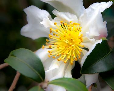 Flower, Yellow Stamen - Longwood Gardens