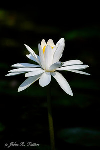Water lily. II
