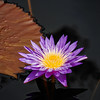 purple and yellows water lily