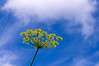 Fennel against sky