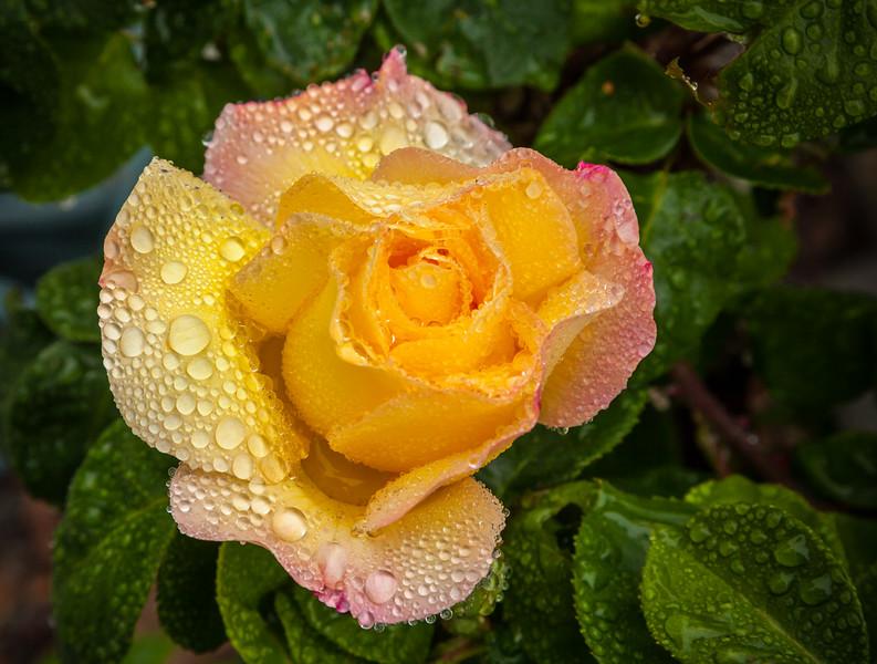 Raindrops on Roses 4