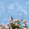 Bird sitting on blooming roses.