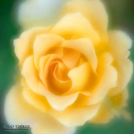 Yellow Rose Glow