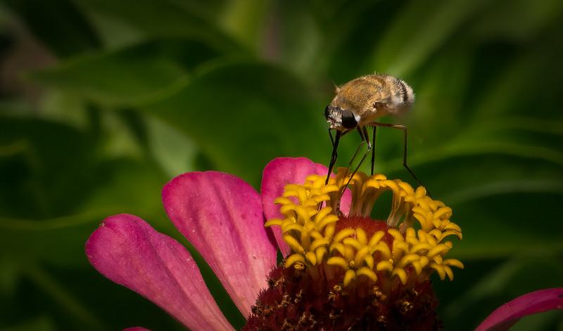 Bee Fly 85