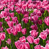 Field of bright pink tulips