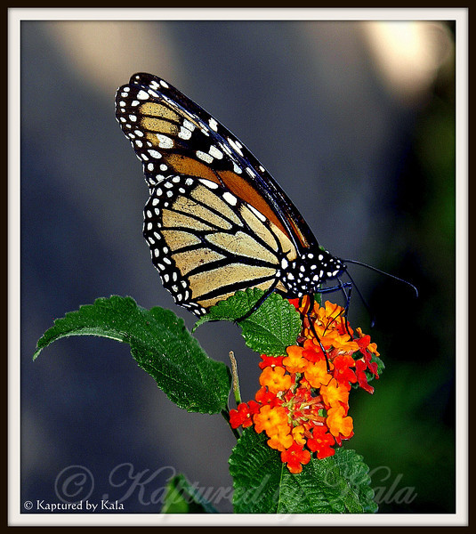 Monarch Butterfly on Lantana