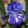 Tie-dye Iris