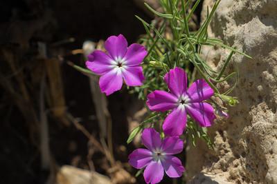 Purple Primroses