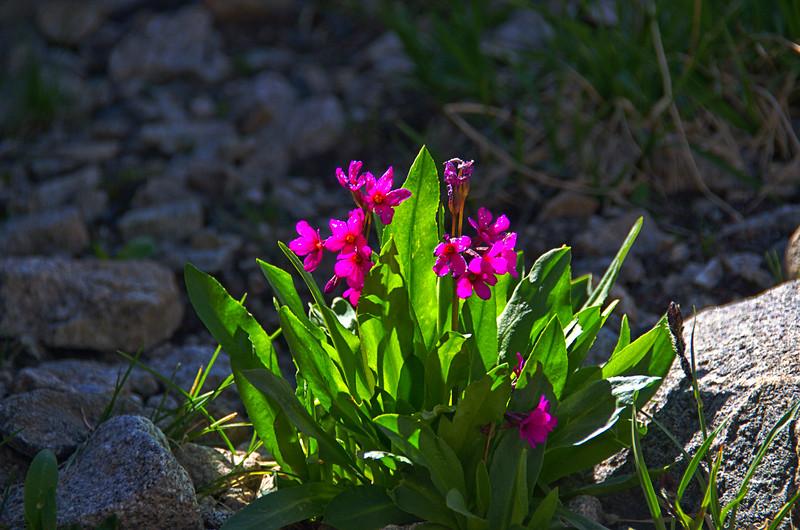Primulaceae -  Primula parryi - Parry Primrose