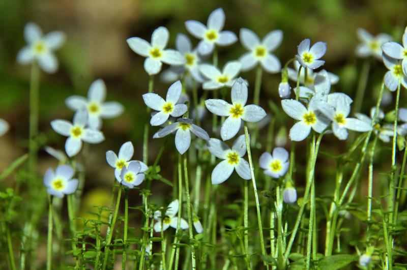 Rubiaceae -  Houstonia serpyllifolia - Thyme-Leaved Bluets