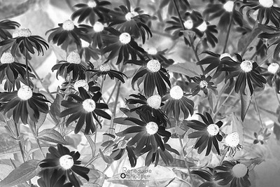 b w black eyed susans