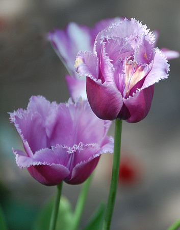 Purple Bearded Tulip