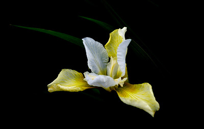 Iris Light