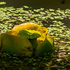 Western Water Lily