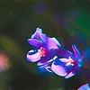 Butterfly Pea - Purple