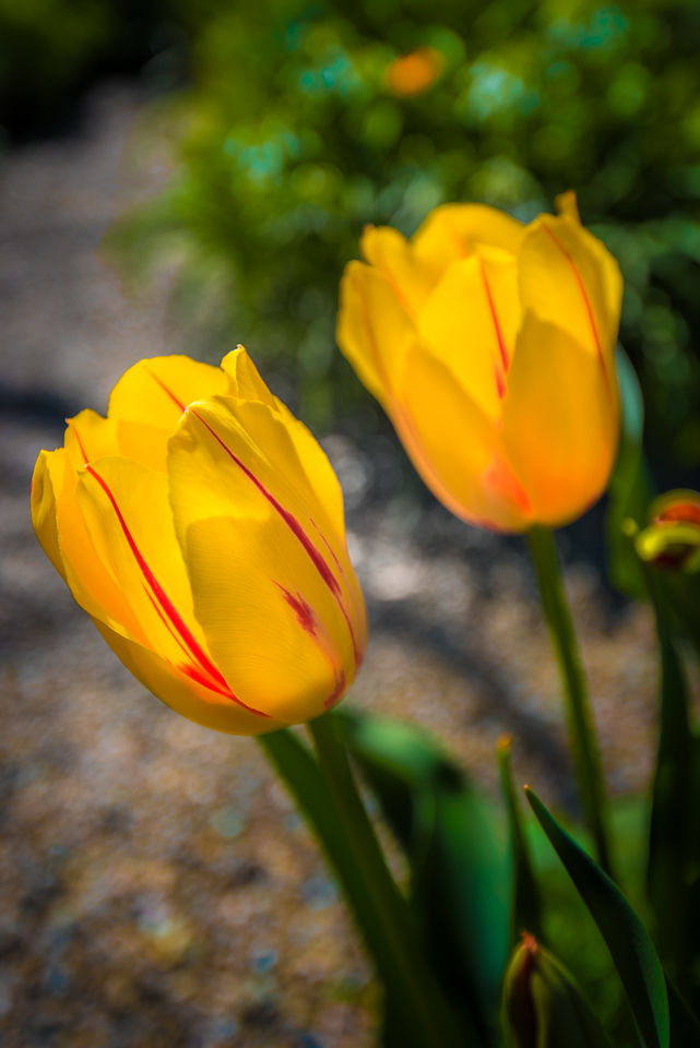"""Le Courtine"" Tulip"
