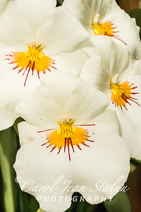 White Pansy Orchid
