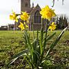 St Wendreda's Daffodils