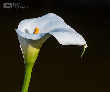 Calla Lily Up, Close and Personal