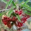 Hilliers berries