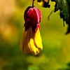 Velvety abutilon flower