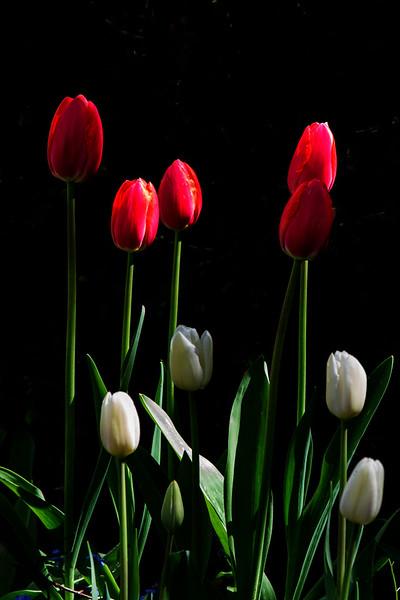 Tulip Drama